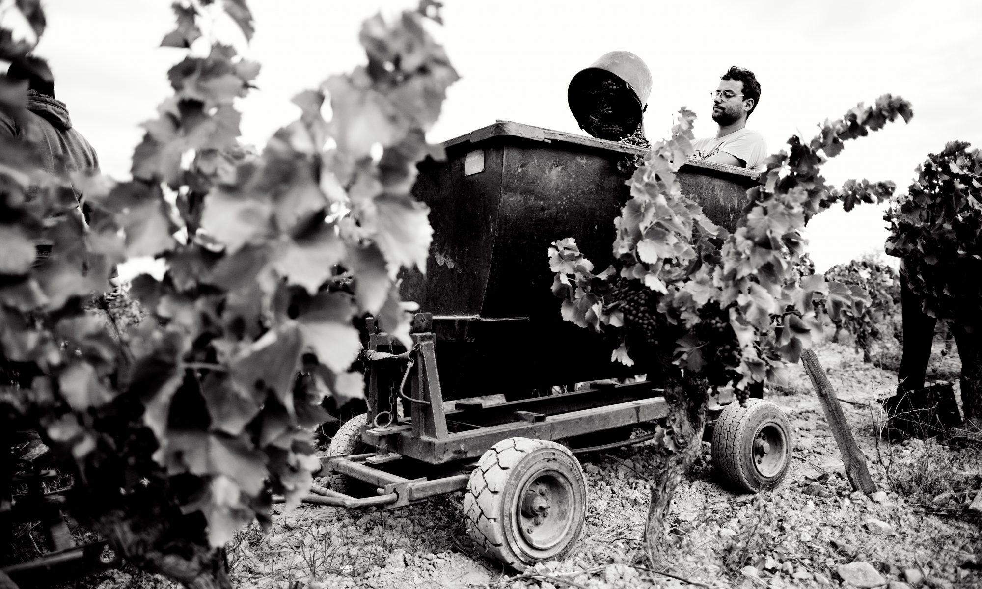 Vendanges Languedoc