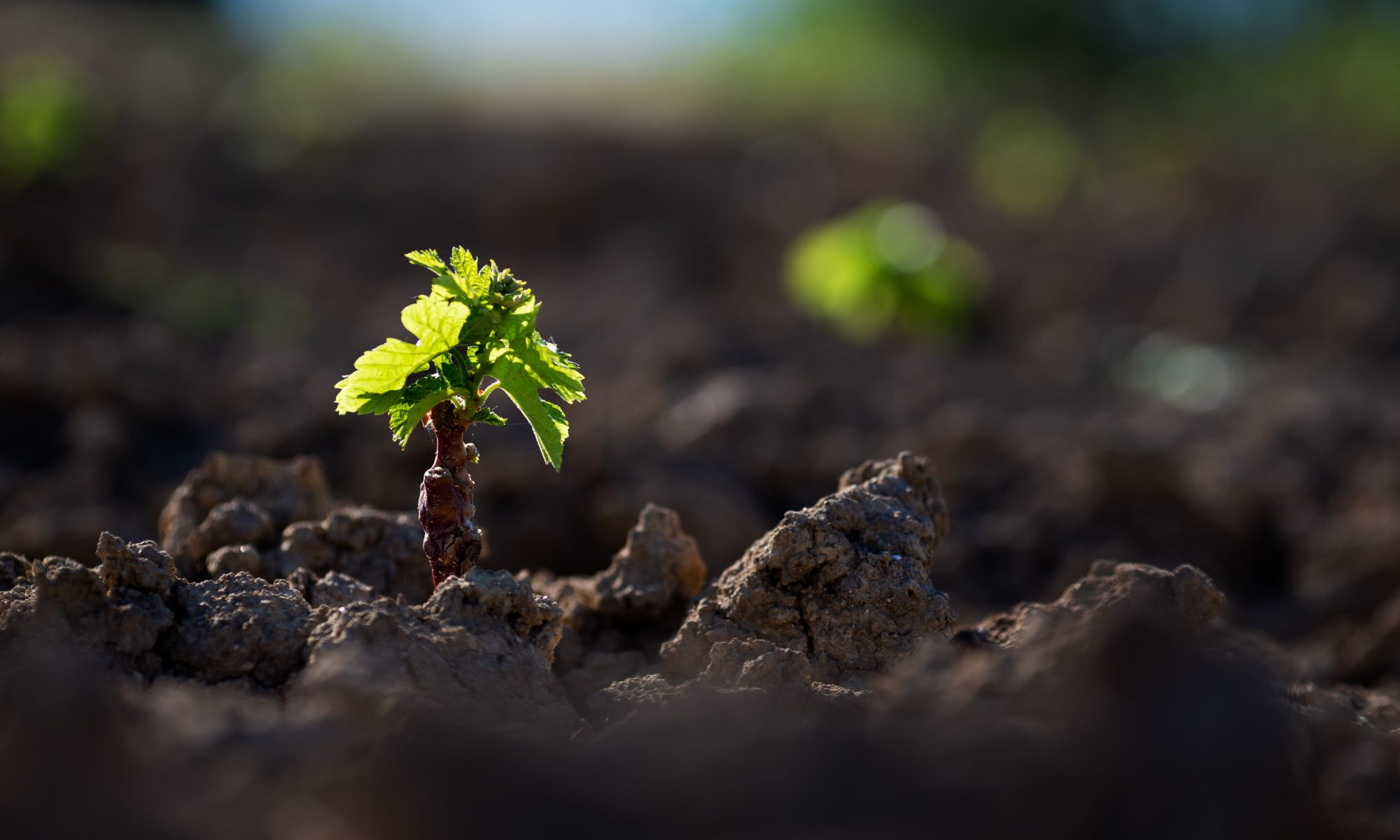 Plantier Vigne